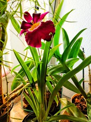 ela chegou (lucia yunes) Tags: orchidée orchid orquídeas beleza beauty colors cor luciayunes flor florescer florir flowers red vermelho natureza nature