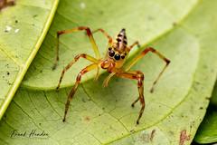 Jumping Spider (Bathippus sp) female (F.Hendre) Tags: bathippussp jumpingspider spider arachnid macro malaysianspider salticidae