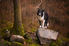 Life on a Rock (JJFET) Tags: border collie dog sheepdog herding paddy