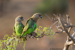 Brown-headed Parrot pair (leendert3) Tags: leonmolenaar southafrica krugernationalpark wildlife wilderness wildanimal nature naturereserve naturalhabitat bird brownheadedparrot ngc npc