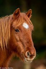 New Forest Pony (Linda Martin Photography) Tags: newforest hampshire animal newforestpony wildlife eyeworthpond uk nature coth ngc