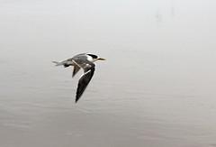 Little Tern (iansand) Tags: birubibeach stocktonbeach littletern tern