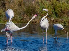 Greater Flamingo (xrxss15) Tags: algarve alvor animalia animals aves birds europe flamingos greaterflamingo jungtier phoenicopteridae phoenicopterusroseus portugal riadealvor rosaflamingo tiere vögel immature juvenile