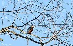 Martin-pêcheur_34 ♀ (Jean-Daniel David) Tags: oiseau femelle perchoir martinpêcheurdeurope nature nikon suisse lac ciel arbre branche vaud faune cielbleu perché suisseromande lacdeneuchâtel yverdonlesbains réservenaturelle grandecariçaie nikond5600 bleu tamronspaf150600mmf563a022 kingfisher martinpêcheur