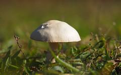 from the grass (Johnson Cameraface) Tags: 2019 october autumn olympus omde1 em1 micro43 mzuiko 60mm macro f28 johnsoncameraface unseen2019 fungi mushroom toadstool