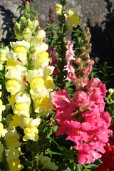 We know what we are, but know not what we may be.  (William Shakespeare) (boeckli (on vacation)) Tags: flowers napier snapdragon 004792 yellow red gelb rot flowerthemes nature natur blumen blume blüten blossom bloom blossoms blooms outdoor outside flower flora fleur colourful colorful colours colors colour plants pflanzen plant pflanze
