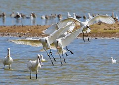Spoonbills (gillybooze (David)) Tags: ©allrightsreserved teleconverter14 600mmf4 bird spoonbill wildlife outside inflight water lake wild shore wings outdoor bokeh dof wadingbird wader