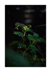 This work is 1/21 works taken on 2019/12/8 (shin ikegami) Tags: sony ilce7m2 a7ii sonycamera 50mm lomography lomoartlens newjupiter3 tokyo 単焦点 iso800 ndfilter light shadow 自然 nature naturephotography 玉ボケ bokeh depthoffield art artphotography japan earth asia portrait portraitphotography