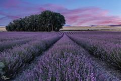 Amanecer en los campos de lavanda (Urugallu) Tags: lavanda tiedra valladolid floral flor color luz nubes cielo amanecer joserodriguez urugallu canon tokina castillaleron spain españa