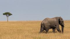 African Bull Bush Elephant, Maasai Mara