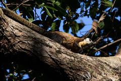 Black giant squirrel (Ratufa bicolor) (Ron Winkler nature) Tags: black giant indonesia mammal rodent squirrel mammalia rodentia herbivore bicolor ratufabicolor ratufa bali nature canon asia wildlife 7dii 100400ii