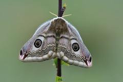 D71_6941A (vkalivoda) Tags: matináč saturnia moth pavoniella nachtpfauenauge emperor martináčpodobný saturniapavoniella southernemperormoth südlichekleinenachtpfauenauge smallemperormoth ligurischesnachtpfauenauge paondenuitaustral polilladesedadelemperadordelsur sigma150mmf28exdgosmacrohsm