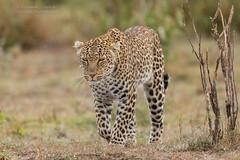 African Leopard  - Panthera pardus (rosebudl1959) Tags: lorian zebraplainsmaracamp kenya november2019 masaimara femaleleopard