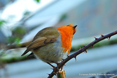 """Posing for """"snaps""""? Well, I look at it like this. (pete. #hwcp) Tags: garden hwcp nikonp1000 tl993287 weasel wicked wickedweasel winter european robin erithacus rubecula posing for snaps well i look it like this"""