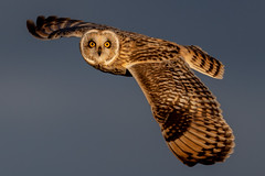 That moment of connection (irelaia) Tags: short eared owl wild bird raptor winter visitor special moment full eye contact sun with cloud background