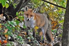 Renard roux (Vulpes vulpes) (131) (Didier Schürch) Tags: nature foret automne animal mammifère renard renardroux vulpesvulpes wildlifeeurope wildlife fox ngc switzerland nikkor d5500