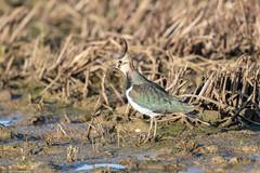 Lapwing (Steve (Hooky) Waddingham) Tags: animal countryside coast canon bird british nature wild wildlife wader photography planet frampton