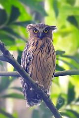 buffy fish owl (sayalah arry) Tags: buffy fish owl birder birdwatching birdphotography green tree wild nikon tamron