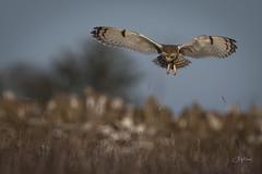 SEO hover (andy_harris62) Tags: short shortearedowl owl raptor nikond850 nikon wildlife wildlifephotography nature naturephotography outdoors outside