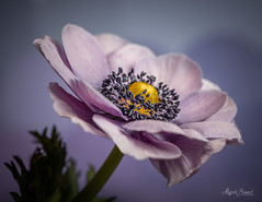 Anemone (Magda Banach) Tags: nikond850 anemone blue bluebackground colors delicacy delicate flora flower green macro nature plants subtlety violet yellow flowersadminfave