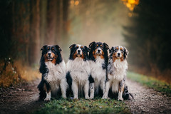 Gang Of Four (der_peste (on/off)) Tags: bokeh dof dogs australianshepherd aussie animal pets light pet sony sonya7iii canine hund bordercollie collie