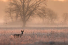 Frosty dawn... (adambotond) Tags: frost dawn roedeer roe doe outdoor nature naturephotography wildlife wildlifephotography wild wildanimal wilderness deer capreoluscapreolus adambotond winter field goldenhour europe magyarország hungary animal mammal tree landscape landscapephotography atmosphere canon eos 1dx canoneos1dx