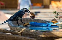 Alles meins, sagt der Rabe! (VintageLensLover) Tags: rabe rabenvogel vogel vogelbeobachtung dubai natur outdoor birds tiere bokeh dof schärfentiefe schärfeverlauf schnappschuss snapshot sonya7iii tamron2875f28