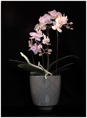 moth orchid (metamodule) Tags: orchid flower foveon sigma