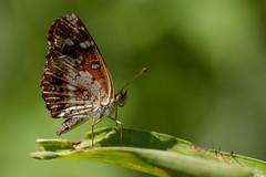 Mariposa (Ce Rey) Tags: mariposa butterfly nature naturaleza green verde macro texture textura ortilia ithra bataraza canon eos80d naturephotography outdoor summer verano ngc ef100mmf28lmacroisusm