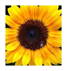 Sunflower (sorrellbruce) Tags: gardening gardens flowers plants sunflower colors shapes patterns textures eyecandy