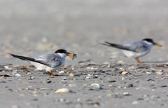 Least Terns (kevpkelly) Tags: terns birds birding nature wildlife beach brown sand summer shore ocean sunny animal audubon sanctuary eating canon rebel 500ml teleextender outside outdoors