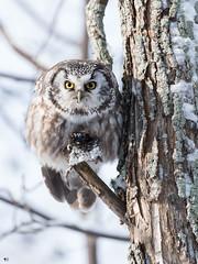 ''Mon toutou!'' Nyctale de tengmlam-Boreal owl (pascaleforest) Tags: oiseau bird animal owl passion nikon nature wild wildlife faune québec canada