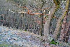 Straning (Harald Reichmann) Tags: straning geisberg wald winter tier reh baum