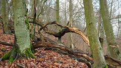 DSCF3433-out (szczym) Tags: trees sopot las zima liście winter leafs wet