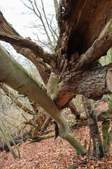 DSCF3442-out (szczym) Tags: trees sopot las zima liście winter leafs wet