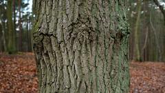 DSCF3451-out (szczym) Tags: trees sopot las zima liście winter leafs wet