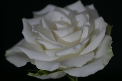 Tranquil (Deborah S-C -In The Fairy Garden) Tags: rose rosa rosie single one only white green black petals tranquility beauty