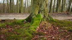 DSCF3497-out (szczym) Tags: trees sopot las zima liście winter leafs wet