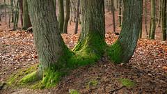 DSCF3477-out (szczym) Tags: trees sopot las zima liście winter leafs wet