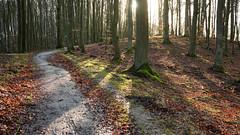 DSCF3489-out (szczym) Tags: trees sopot las zima liście winter leafs wet