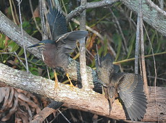 GREEN HERON JUVENILES (concep1941) Tags: birds heronfamily ponds streams marshes