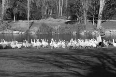 Ocas (Miguel Ángel Prieto Ciudad) Tags: animal bird outdoors water nature swan lake day winter goose greylaggoose spain madrid mostoles sonyalpha alpha3000 bnw blackandwhite monochrome