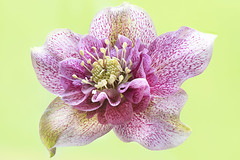 First Hellebore 2020 (Jacky Parker Photography) Tags: hellebore lentenrose christmasrose flower spring 2020 springflowering springgarden closeup macrophotography freshness fragility beautyinnature beauty purity flowerphotography perennialplant nikond750 uk