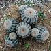 Lace cactus (Echinocereus reichenbachii)
