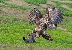 Young bald eagle catching breakfast (monte stinnett) Tags: baldeagle raptor predation birdofprey eagle