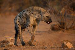 Young Spotted Hyena (leendert3) Tags: southafrica krugernationalpark leonmolenaar nature mammal wildlife naturereserve wildanimal wilderness naturalhabitat spottedhyena