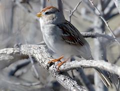 White-crowned Sparrow (Zonotrichia leucophyrs); Catalina, AZ, Catalina Regional Park [Lou Feltz] (deserttoad) Tags: wildlife nature arizona tree desert plant bird wildbird sparrow park