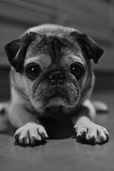 Fluffy (Beneschr) Tags: dog pug paws sooc