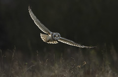 Short-Eared Owl (Ann and Chris) Tags: owl beautiful looking wildlife wild wings nature loveowls shortearedowl