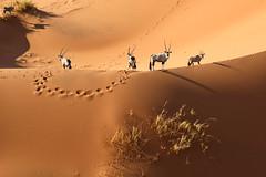 Oryx (charbonjoh) Tags: oryx sossusvlei namibia namibie canoneosr canonrf24105mmf4lisusm